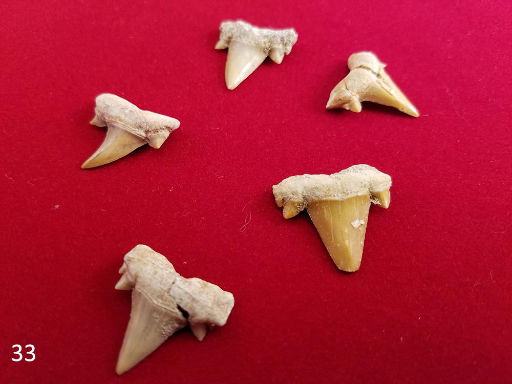 33 shark tooth.jpg