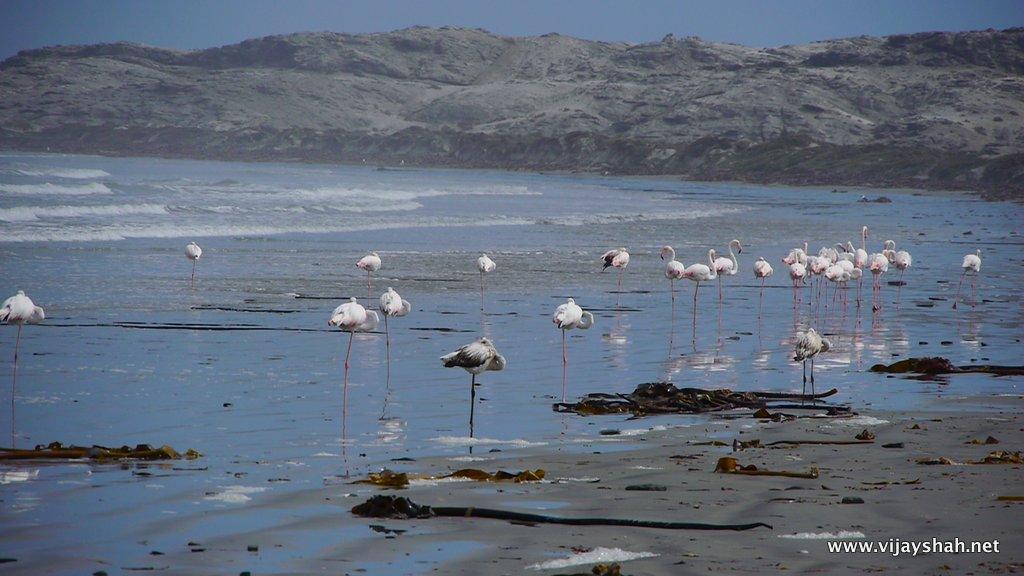 The Lesser Flamingo