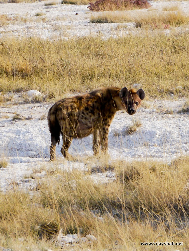 Brown Spotted Hyena