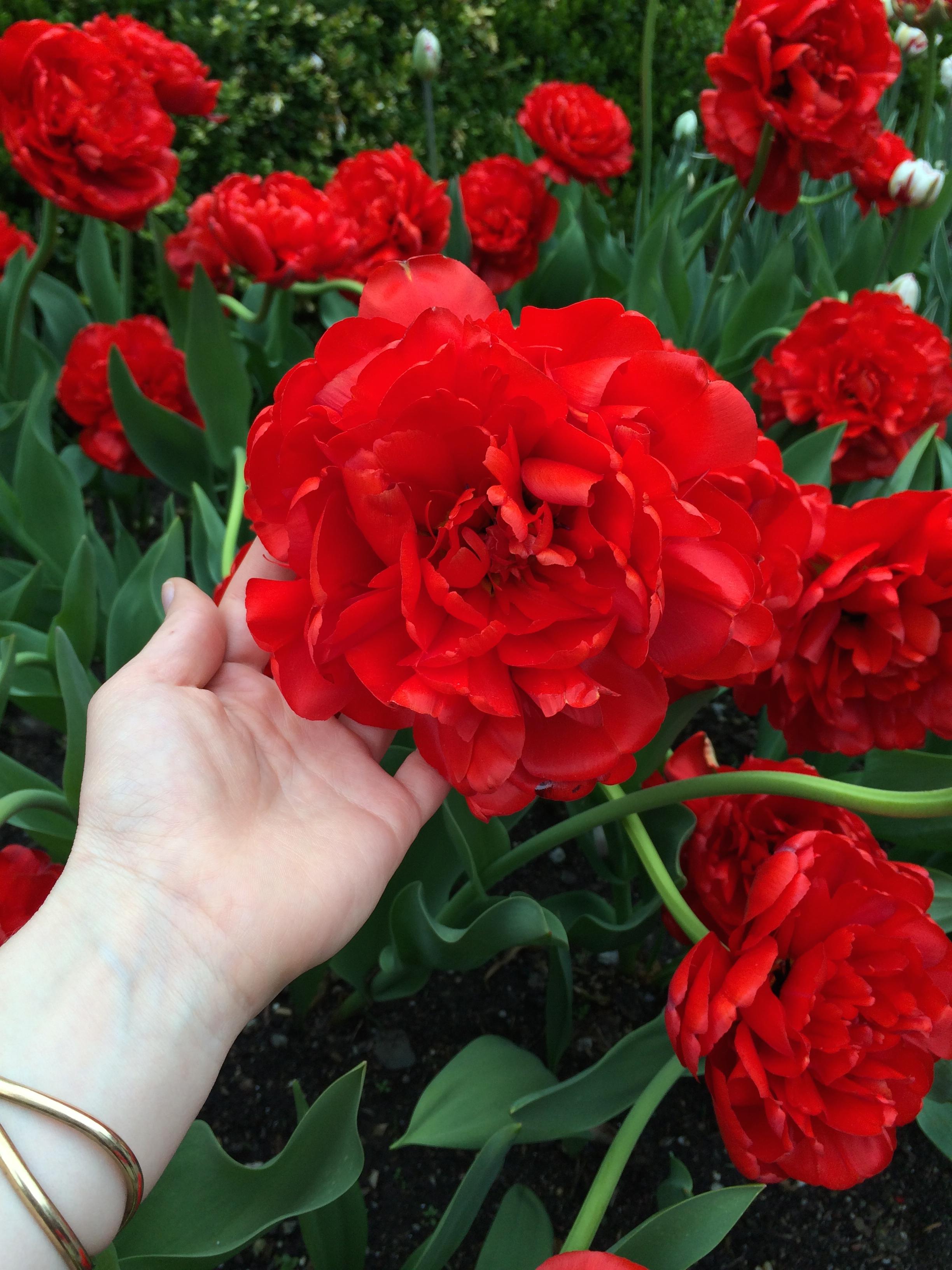 The reddest tulips I've ever seen.