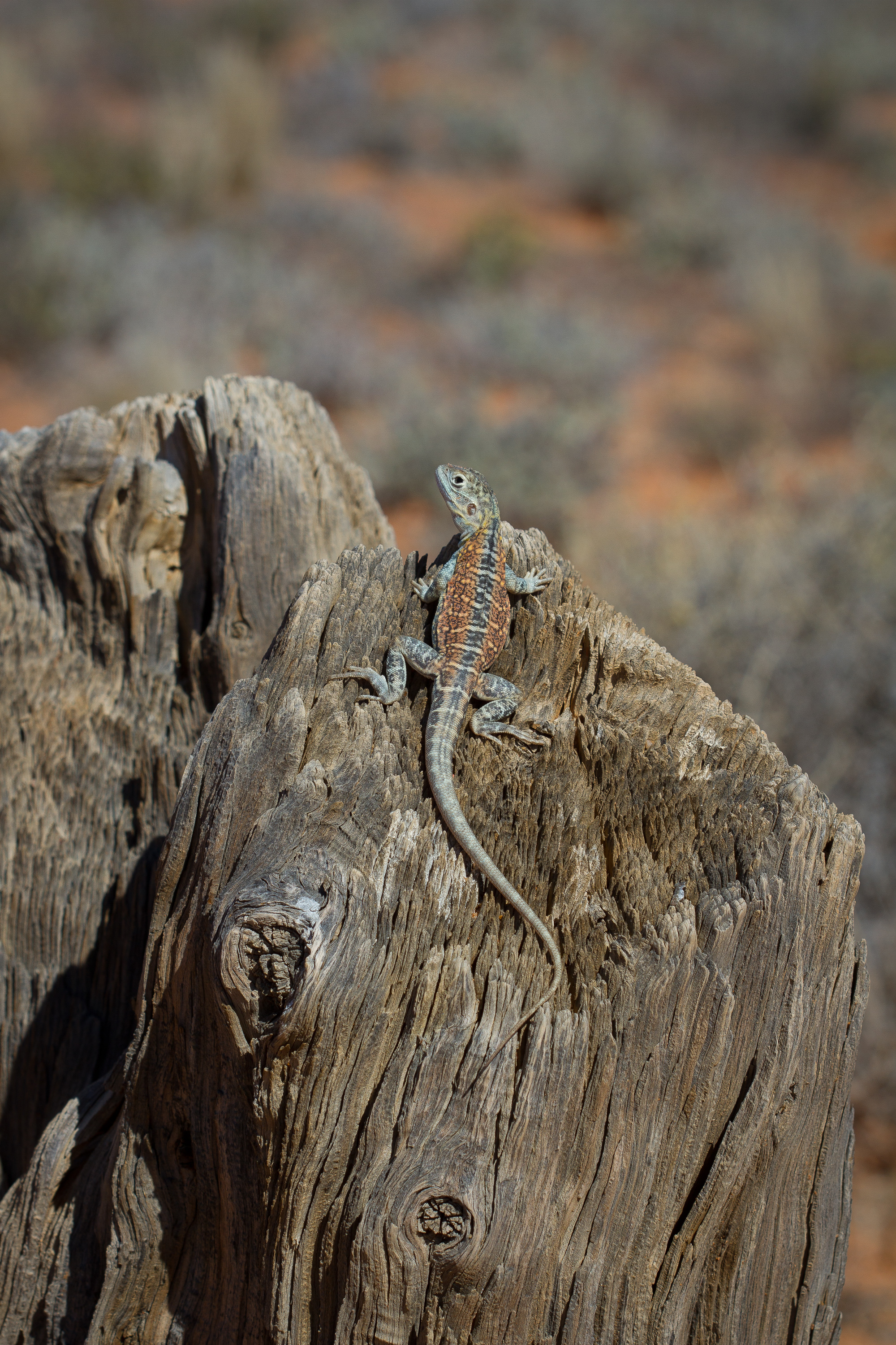 Painted Dragon (Ctenophorus pictus) // Roxby Downs Station, SA