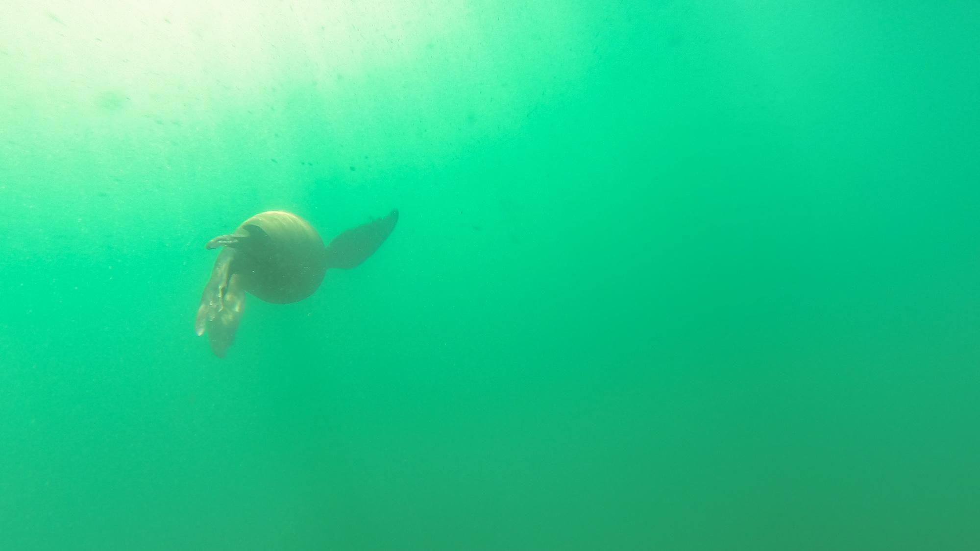 Lion seal under the kayak.