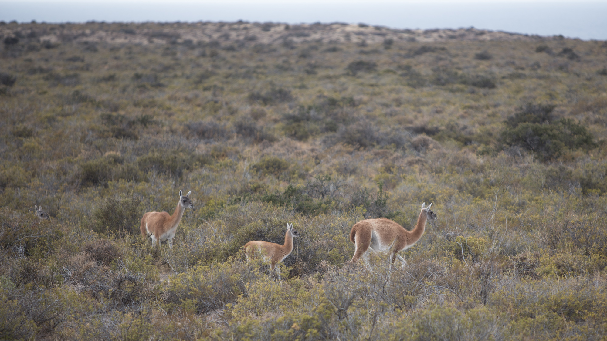 Herds of guanaco are common on the peninsula.