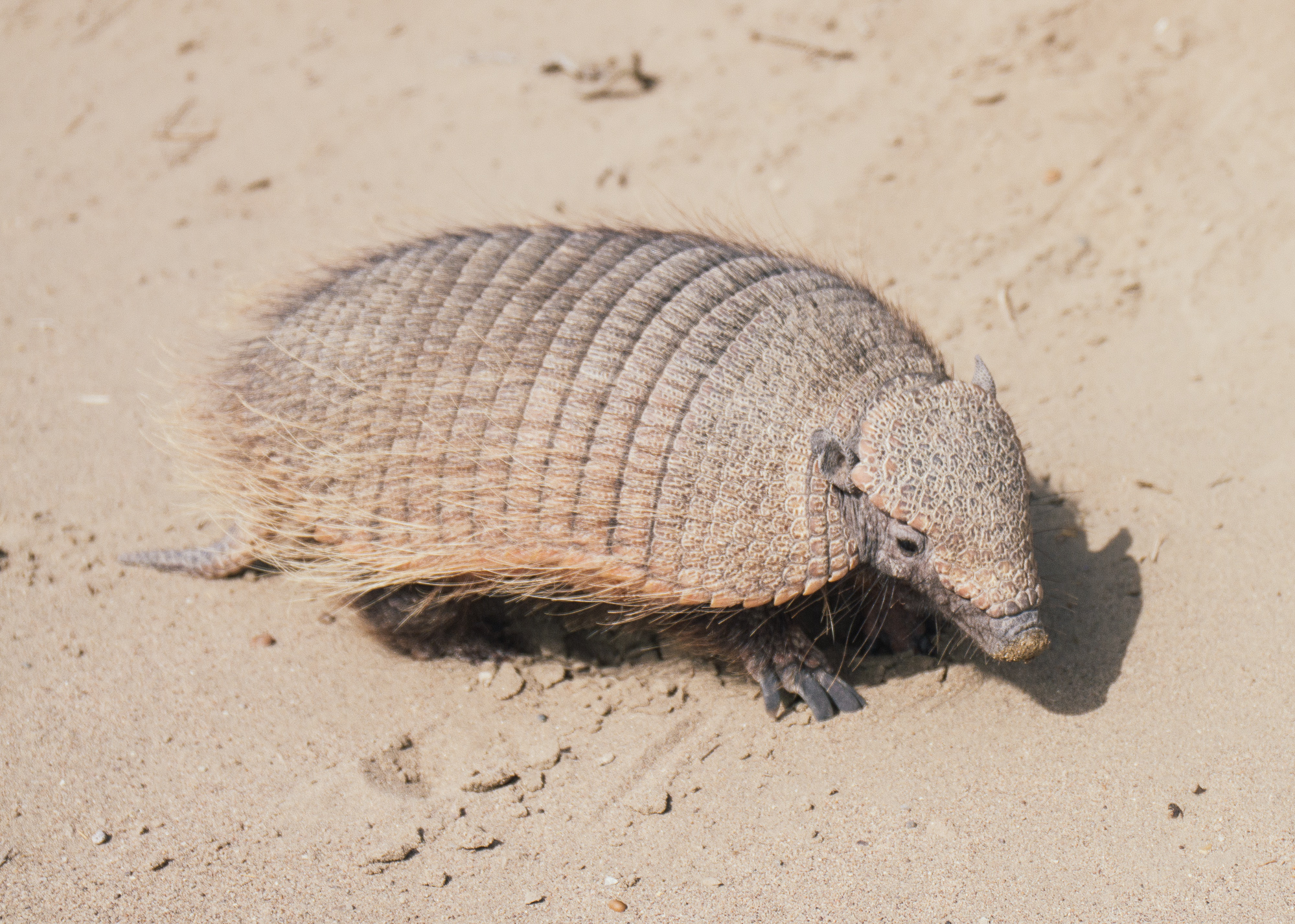 On the Armadillo  Armadillos are truly fascinating creatures and the Americas play host to all of the c. 20 species.  Carla was lucky enough to get these snaps of a hairy armadillo going for a wander, the larger of the two species found in the area.  We later came across a dead young whale on a beach.  Our guide, a local of thirty years who has taken kayak tours internationally, including through Antarctica, and who we trusted, later told us the most incredible tale, of which we still find hard to believe.  Apparently these armadillos are also scavengers.  During whale season a number of whales will die due to natural attrition and wash up on the beach.  Shortly thereafter numerous holes will appear in the dunes around the carcass - the armadillos come and build temporary nests from which they come out to consume the whale at night.  We couldn't find any evidence of it on the internet - definitely a tale which needs to be investigated!
