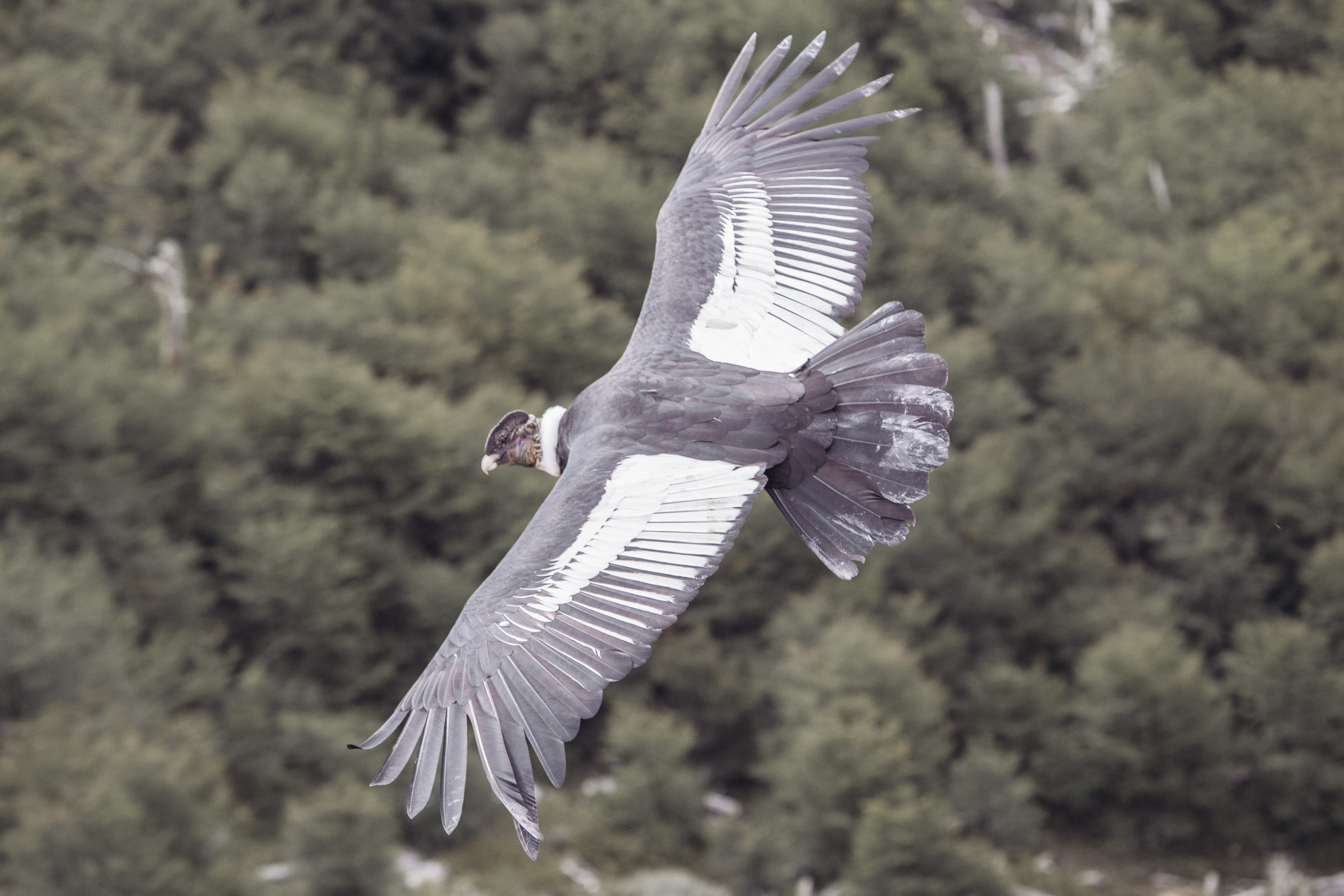 A male Andean Condor keeps an eye out.