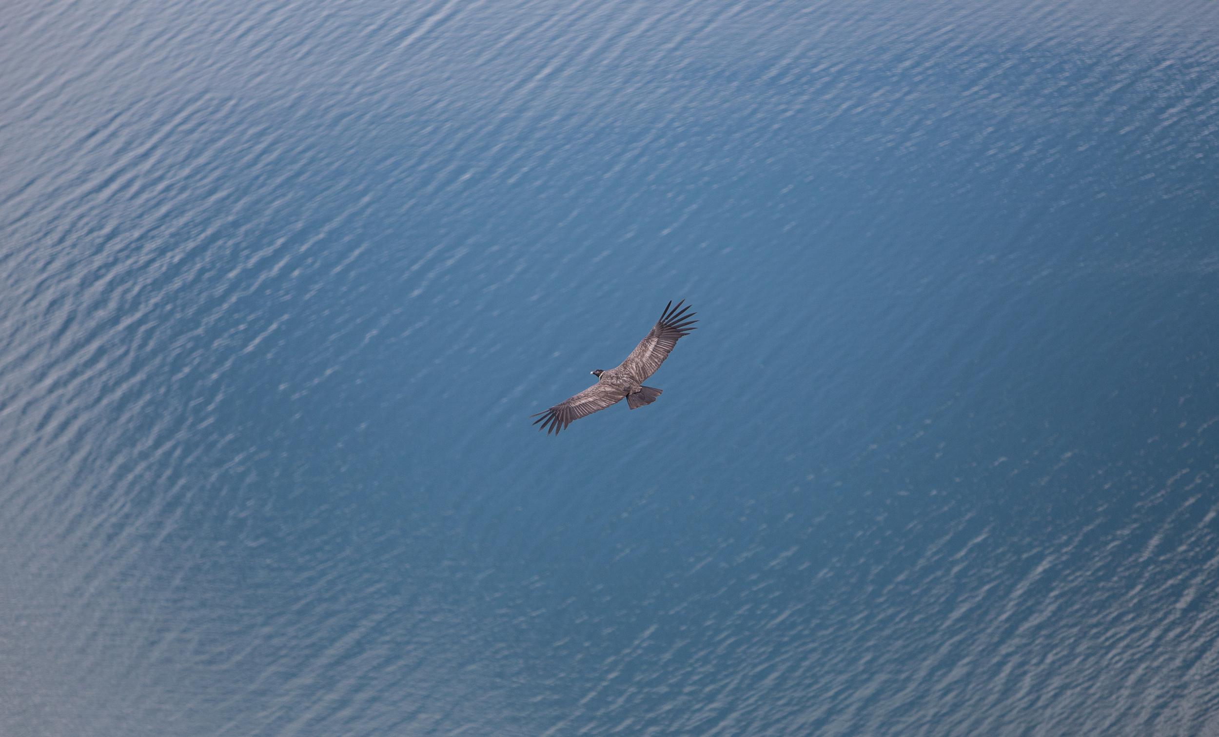 A juvenile condor soars over the Fjord. P: Carla Riccobon