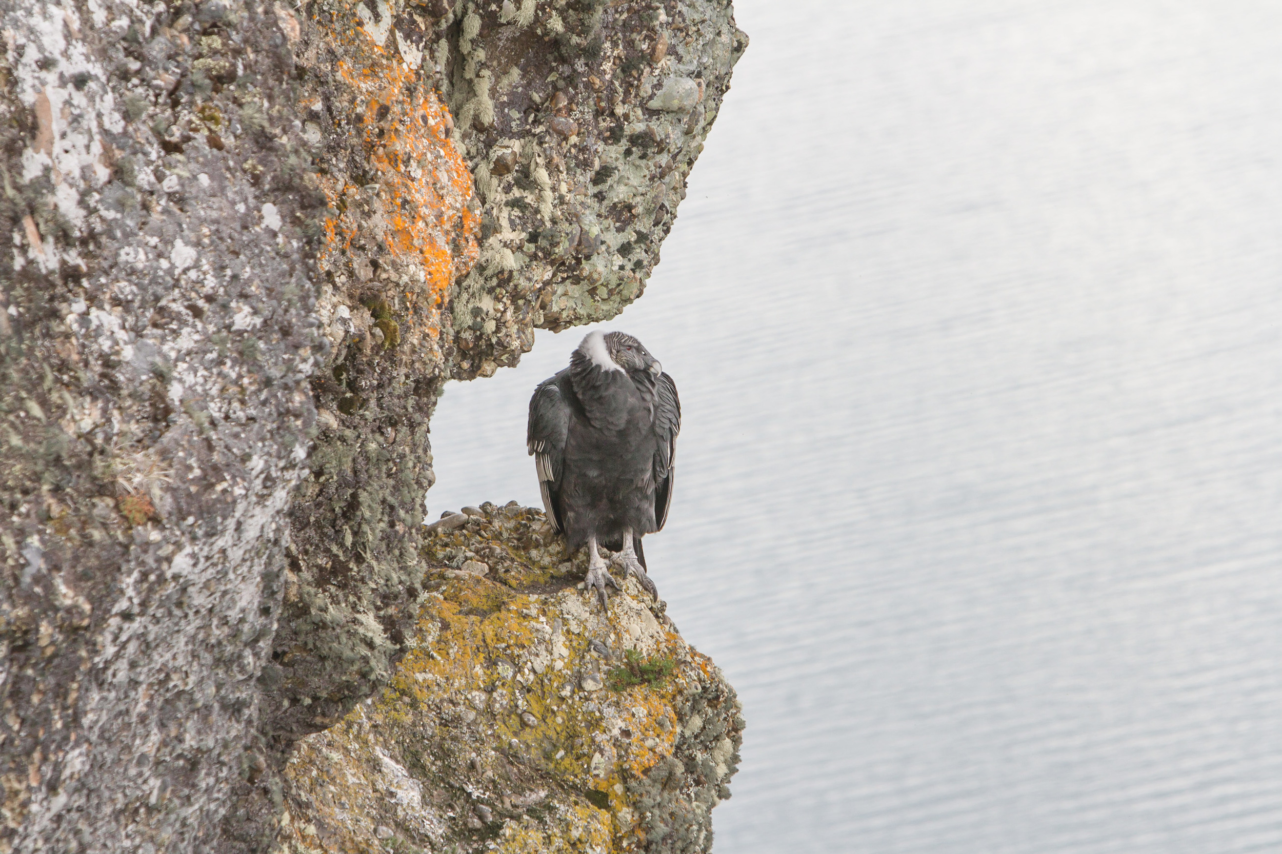 A female Andean Condor.