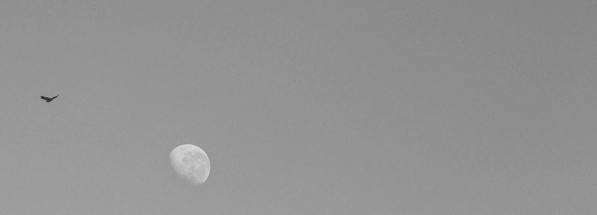 An Andean Condor flies over the moon.