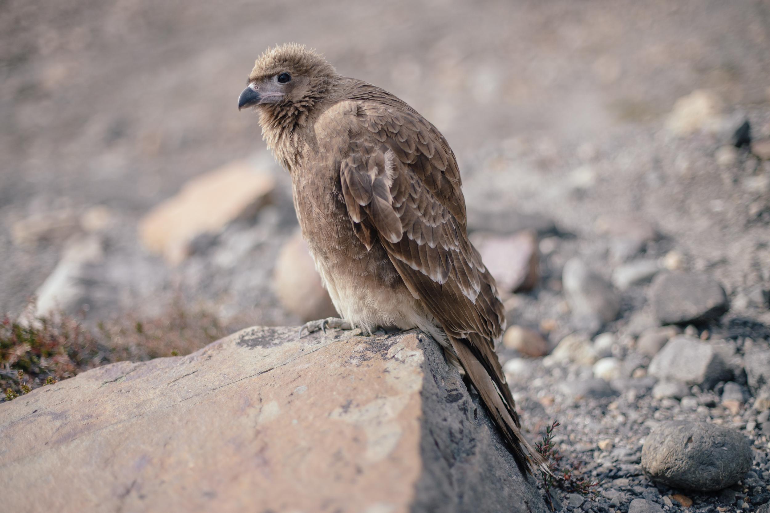Juvenile Mountain Caracara ((Phalcoboenus megalopterus) ruffling its feathers.