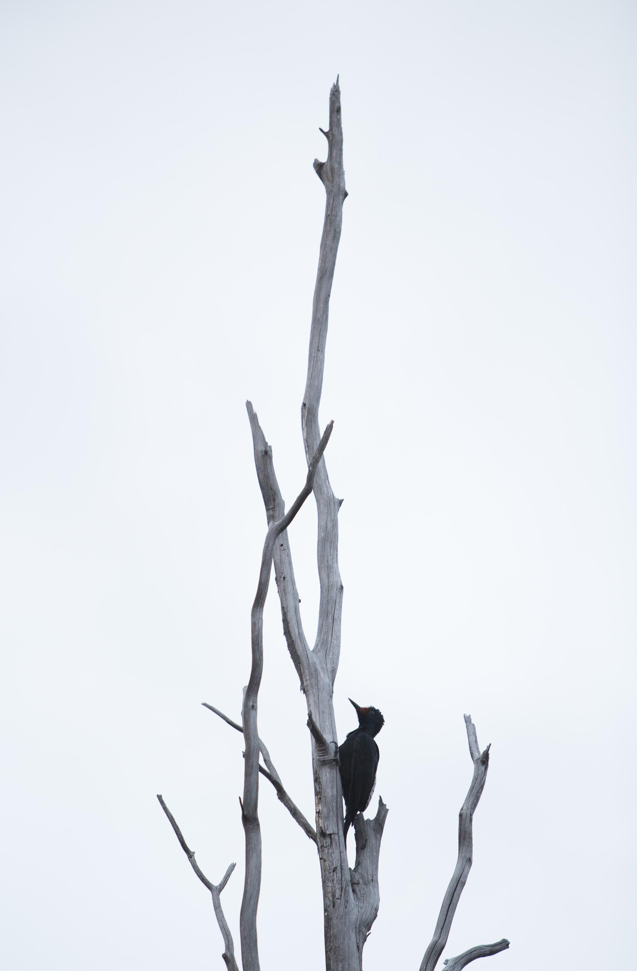FemaleMagellanic Woodpecker