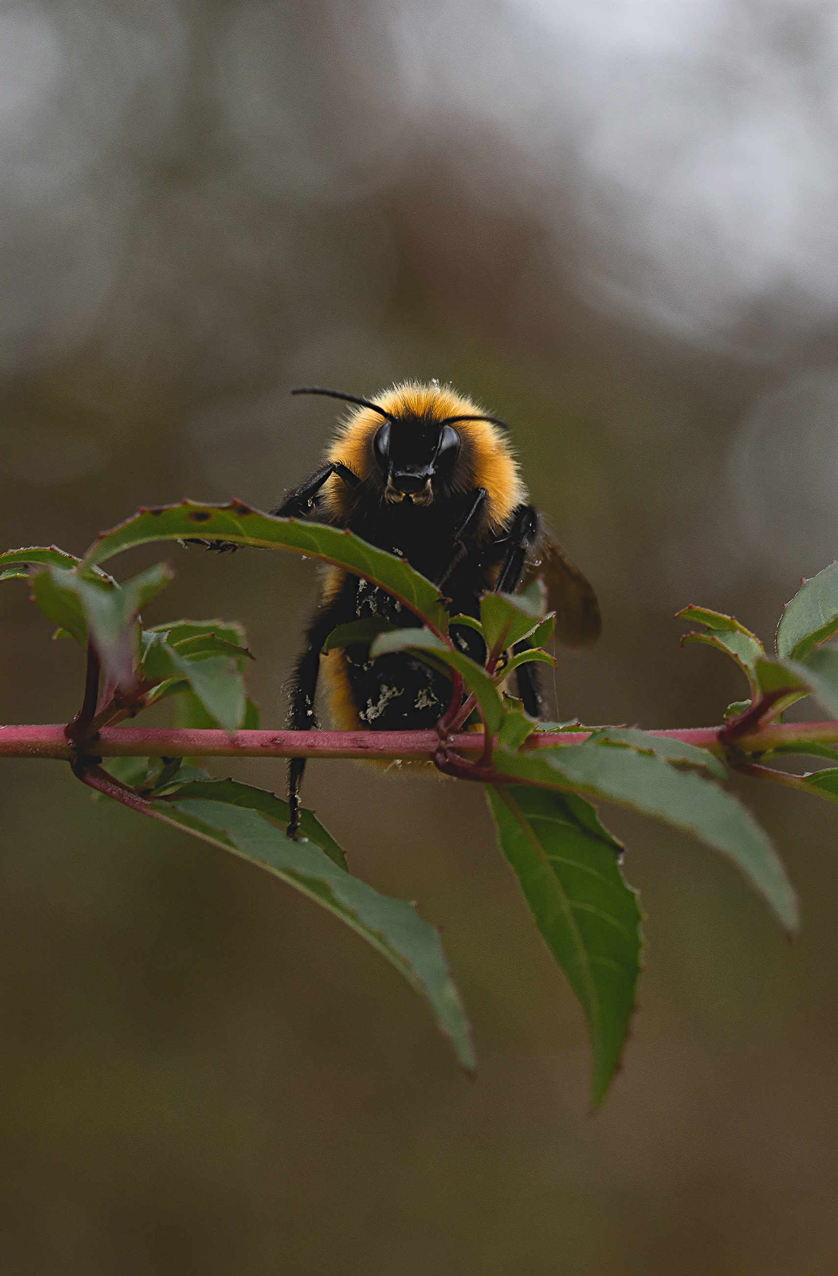 A humble bumblebee goes pauses on its route.