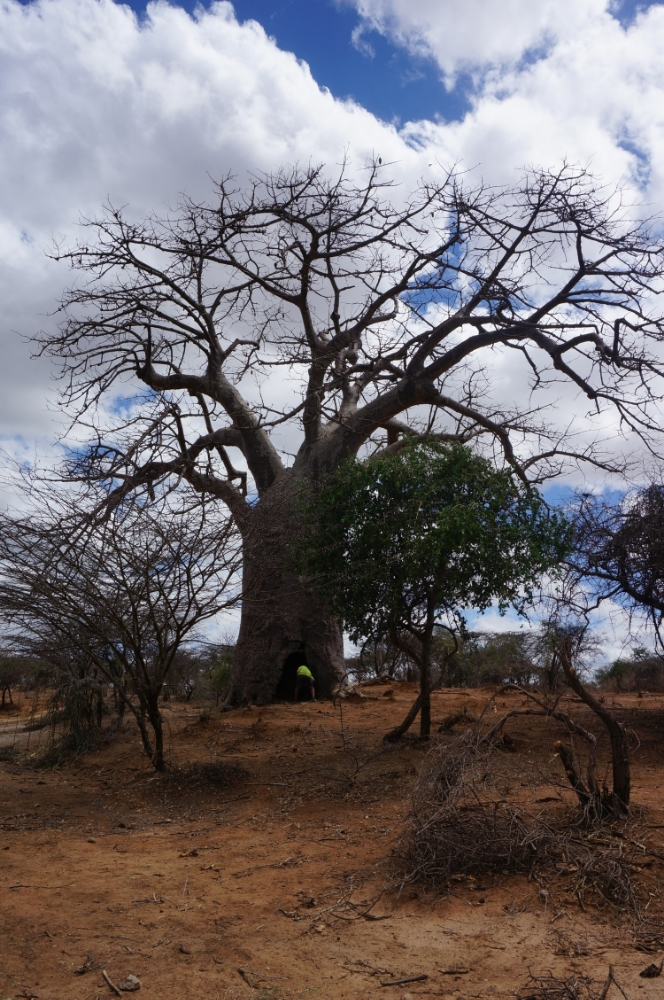 Tan  inside  a giant Baobab. Our new home?