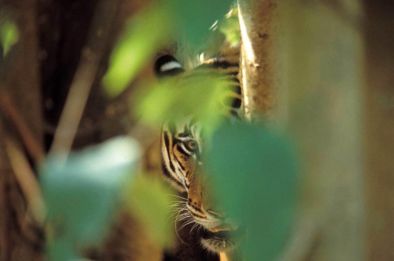 TIGRE-FEUILLES1.jpg