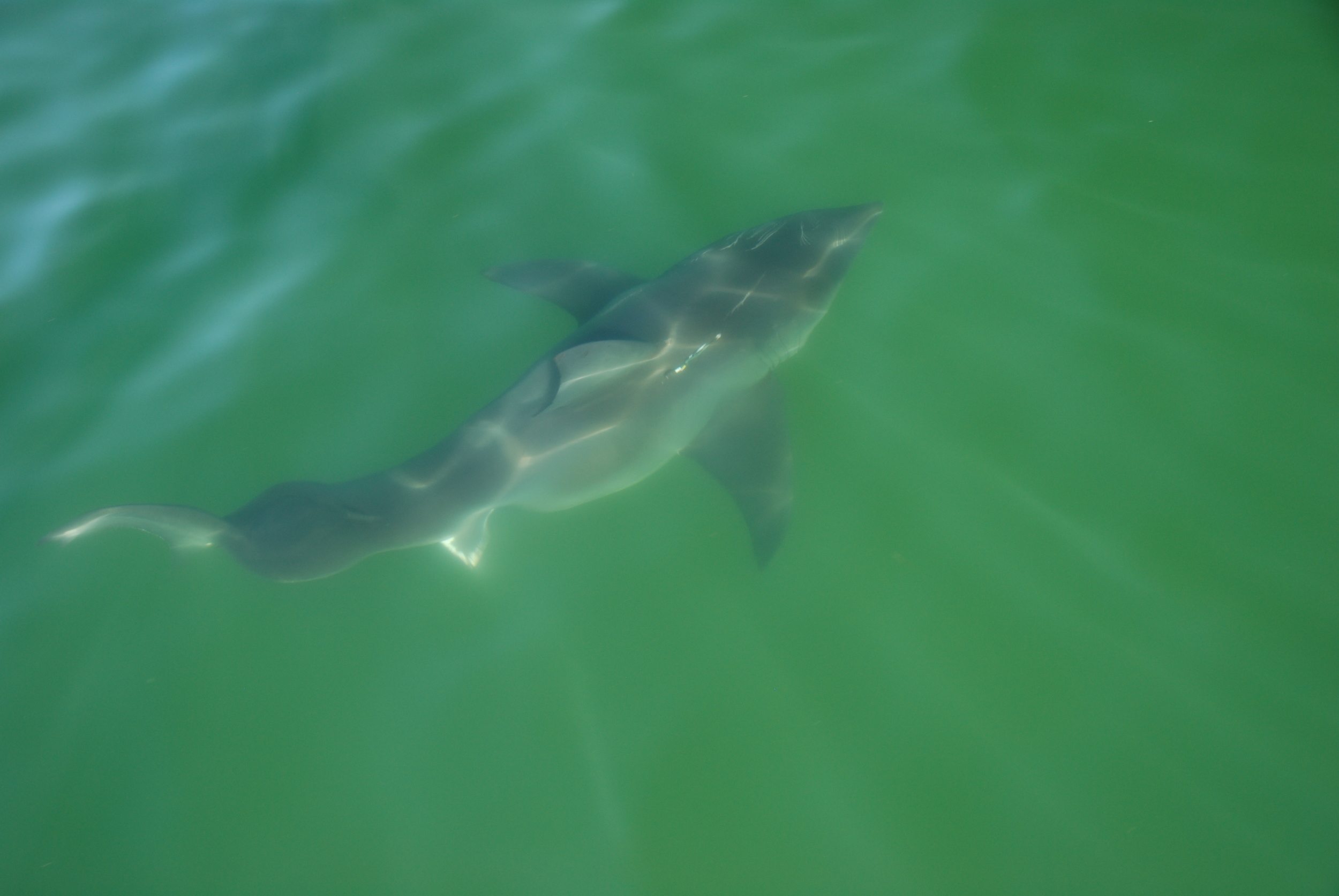 White shark tagged with an acoustic tag by the Massachusetts Shark Research Program.  Research trip and tag paid for by the Atlantic White Shark Conservancy.
