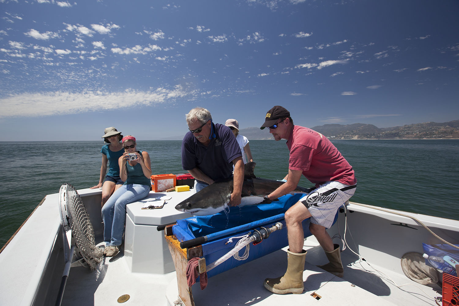 Dr. Lowe and his team release a juvenile white shark back to its inshore waters, it's so cuuuute!