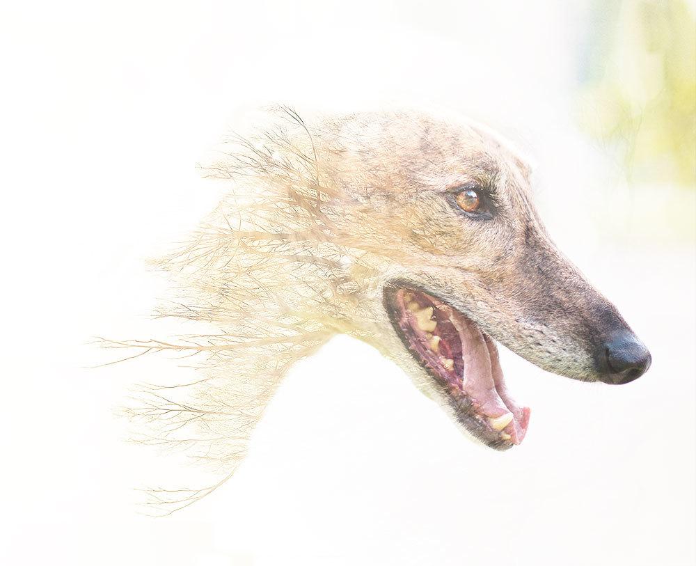 A Greyhound Dreams in Winter