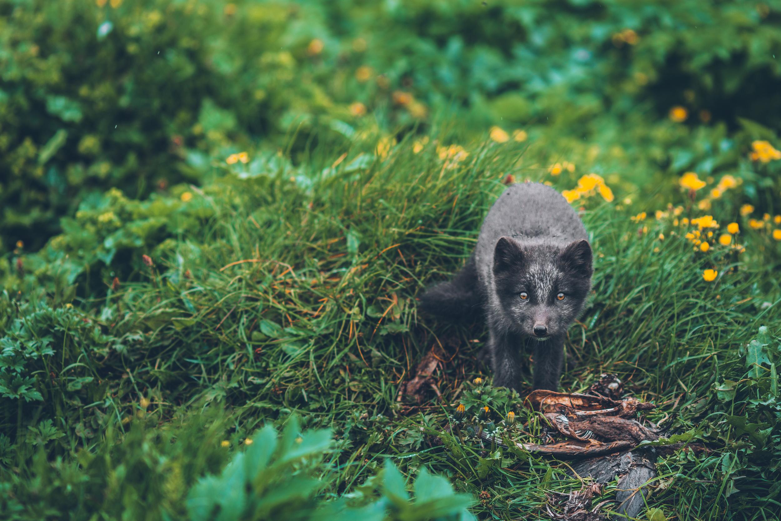 Icelandic fox pup in his den.jpg
