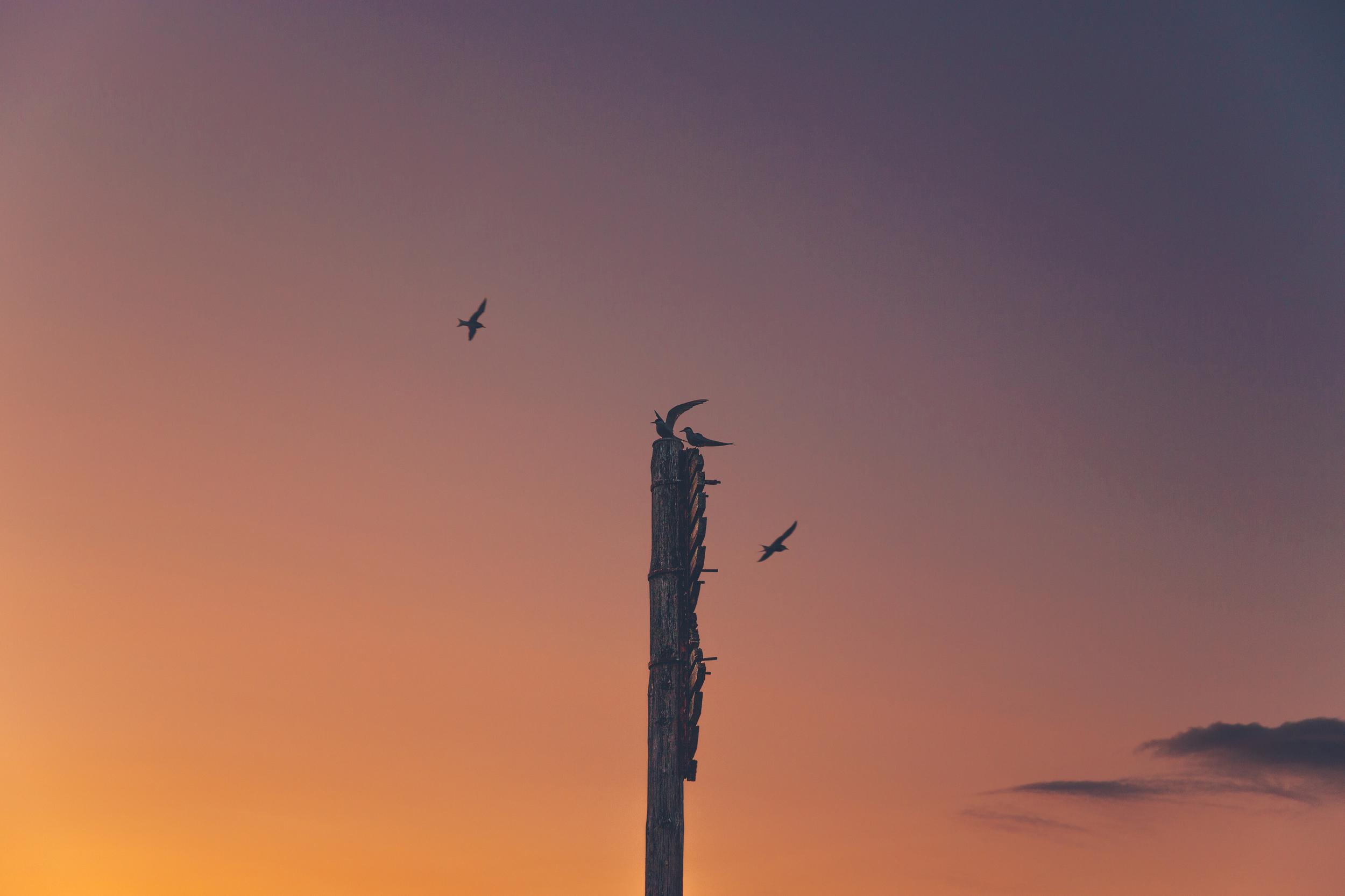 arctic terns at sunset.jpg