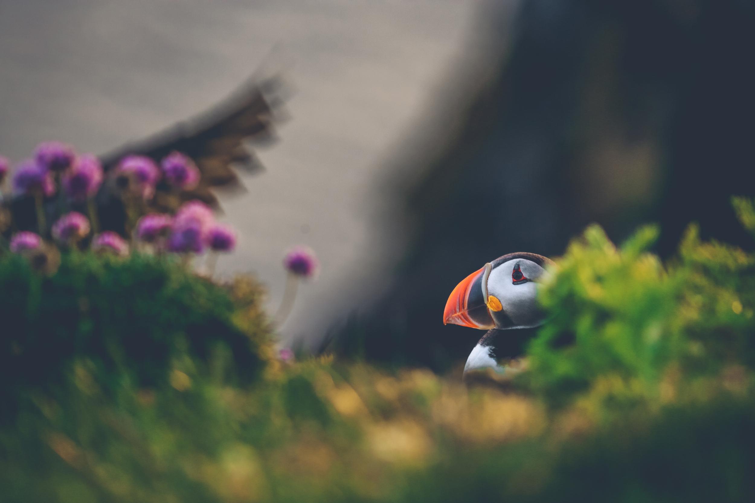 puffin 1.jpg