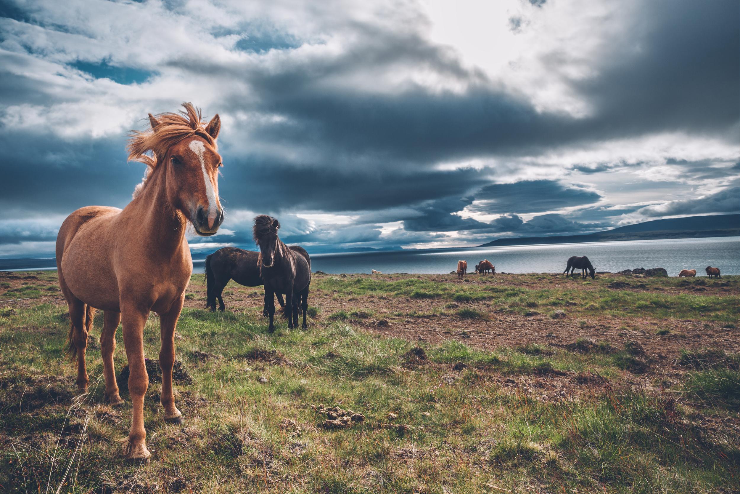 Icelandic horses.jpg