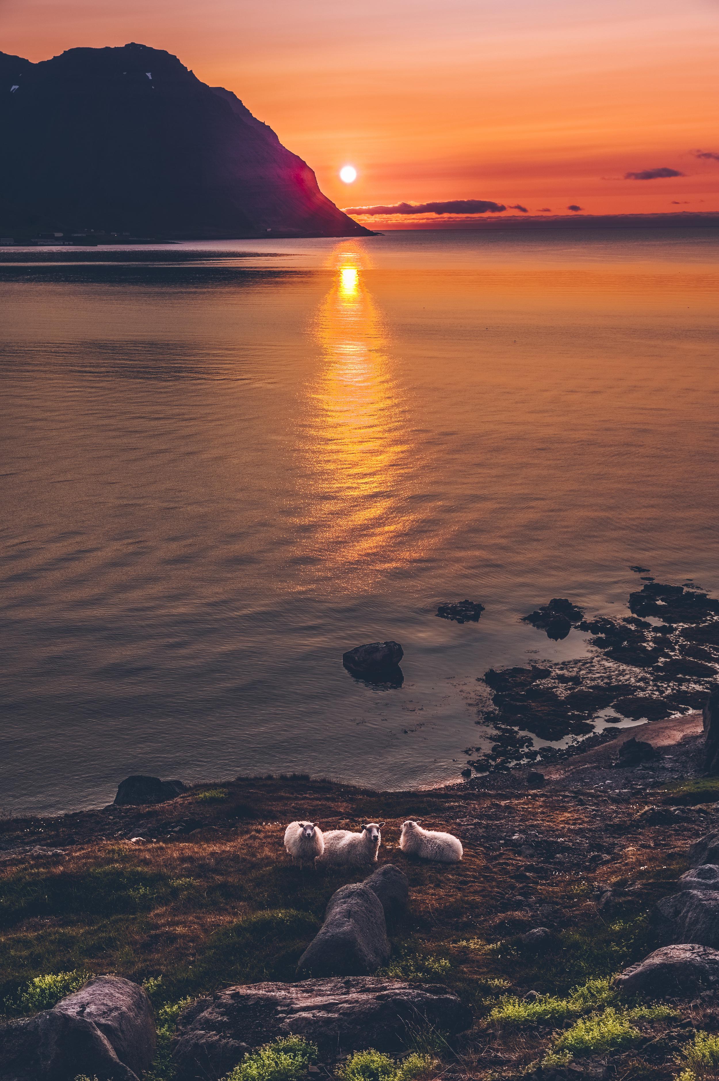 sheep at sunset near Ísafjörður.jpg