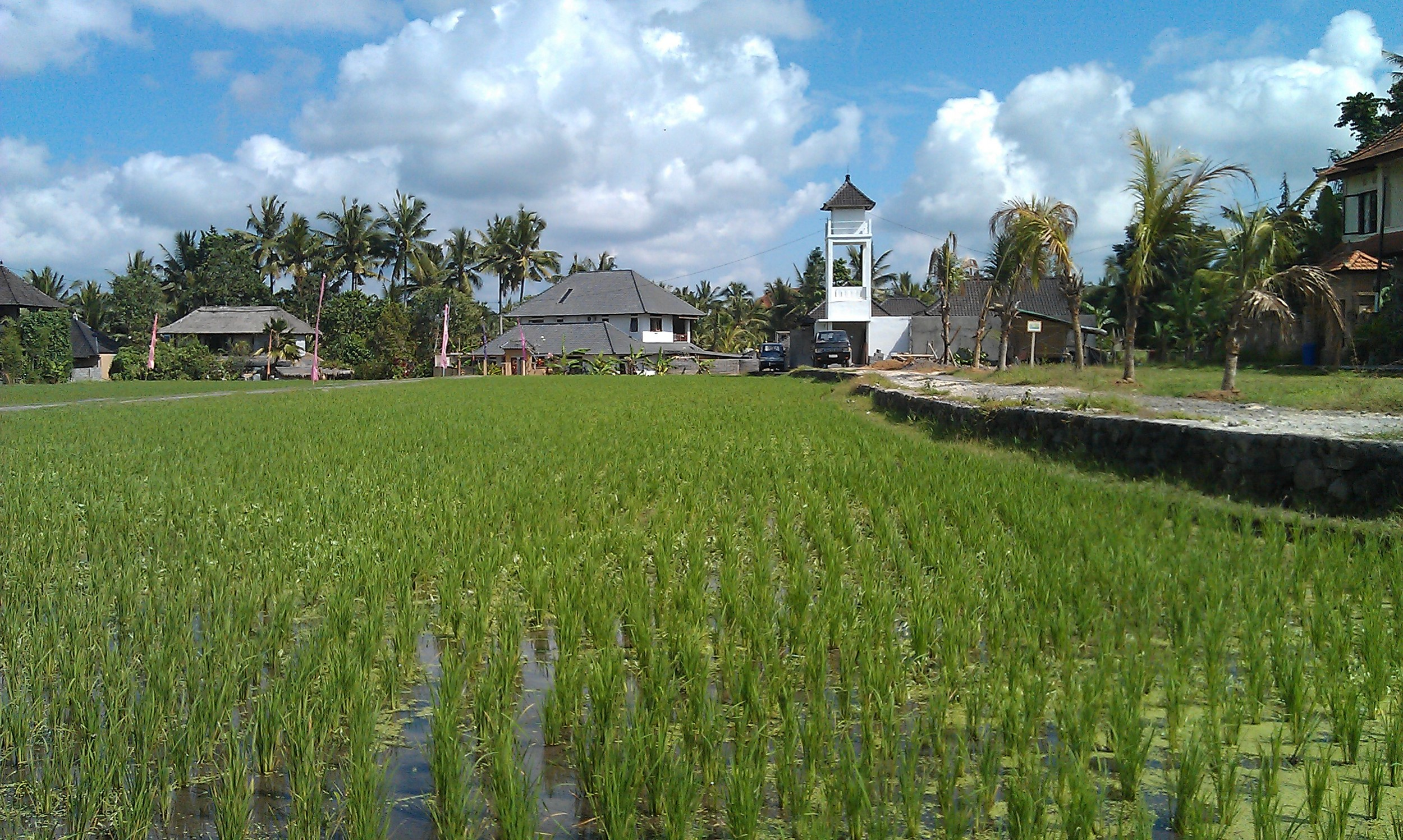 Rice paddy in Bali