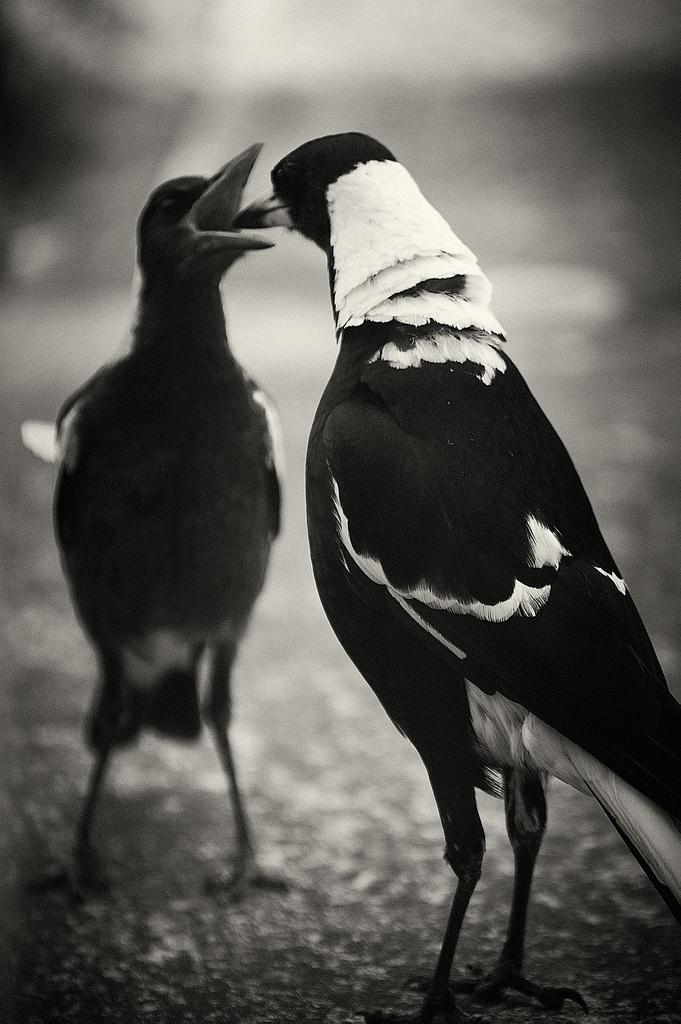 Image:  magpies_004  via flickr