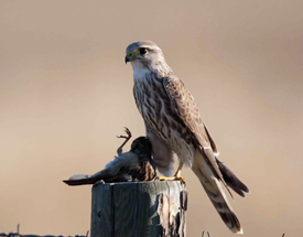 A merlin preying on a fellow feathered creature. Photo by Jessie H. Barry,  allaboutbirds.com .