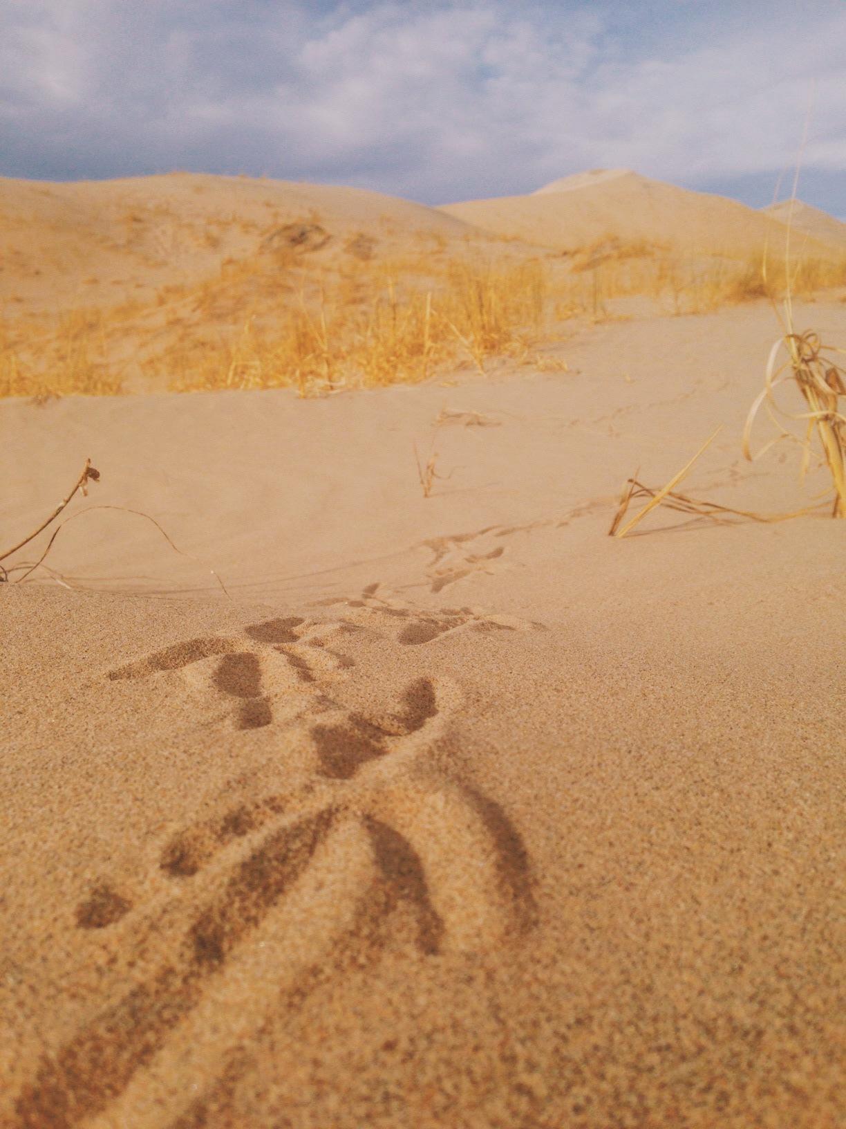 Roadrunner tracks on sand