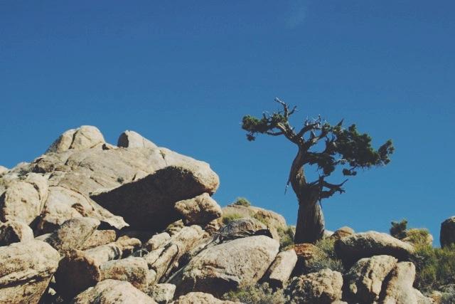 Windswept juniper on Teutonia Peak