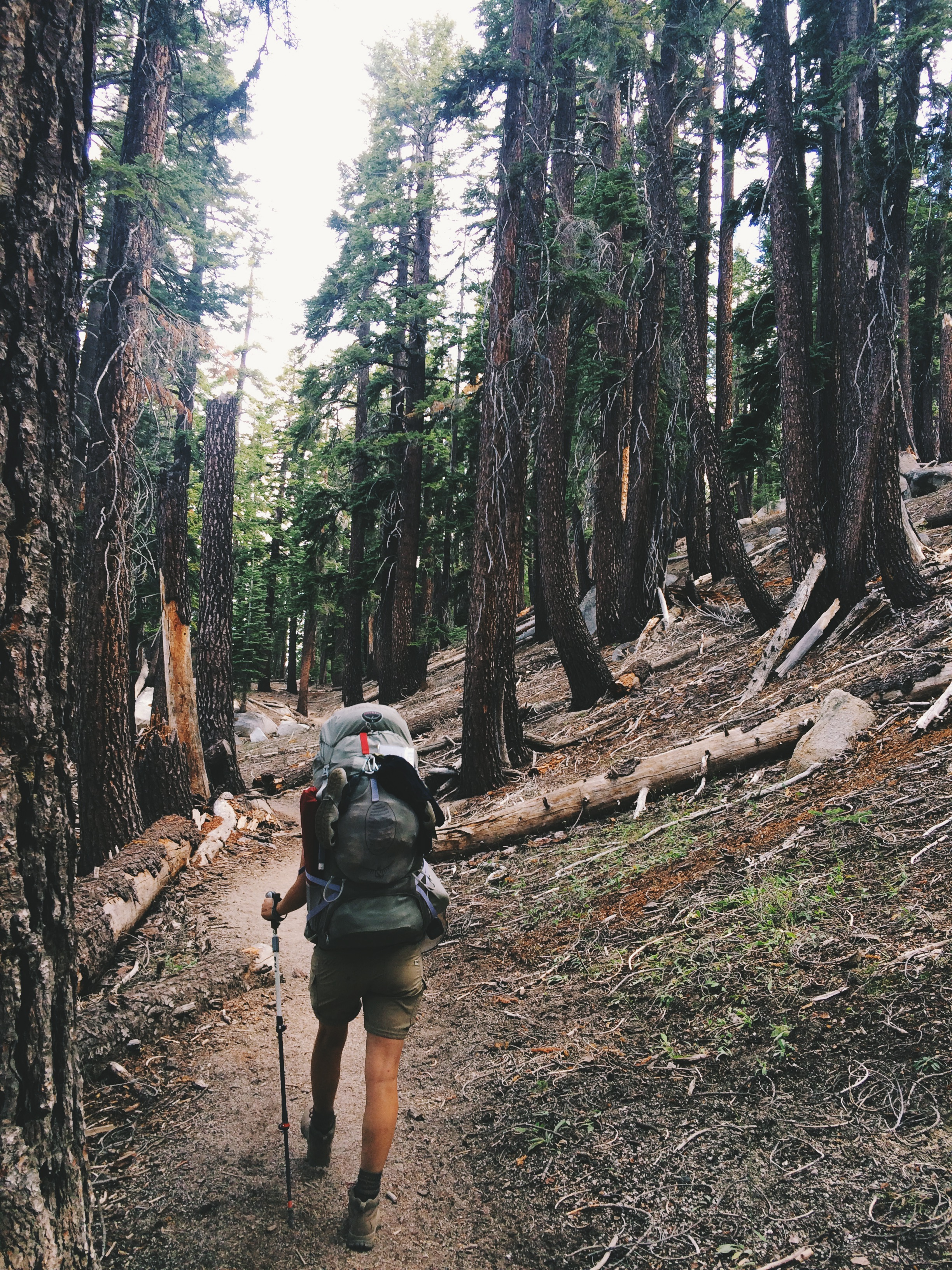 Hiking through lodgepole pine forest.
