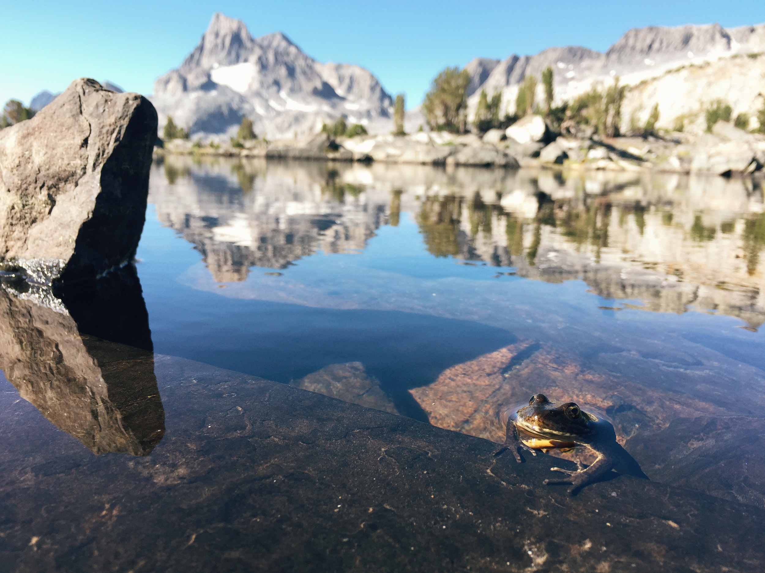 A mountain yellow-legged frog peeks out of the water at Island Pass.