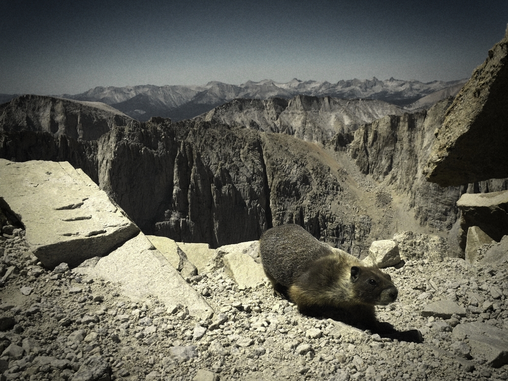 A inquisitive marmot at Trail Crest, near Mt. Whitney