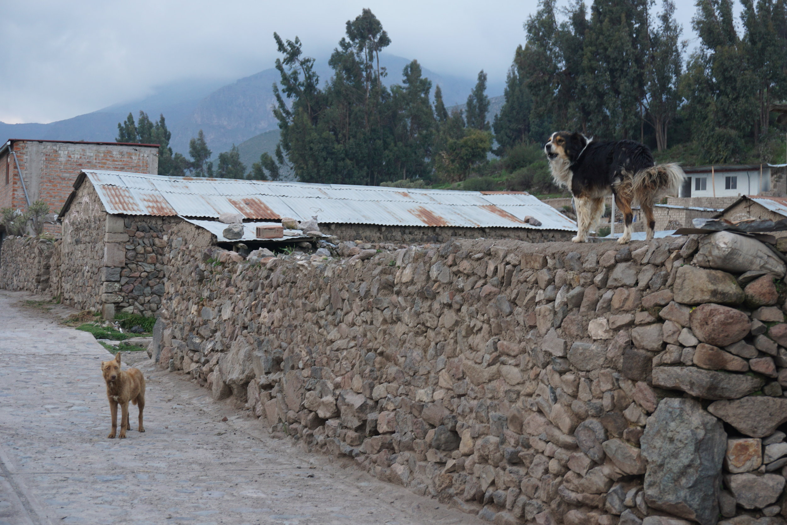 Stray dogs telling us who's boss in the village of Pinchollo, where Colca Trek Lodge is located.