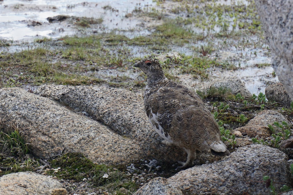 This grouse kept us distracted as her mate took their chick out to explore among the rocks