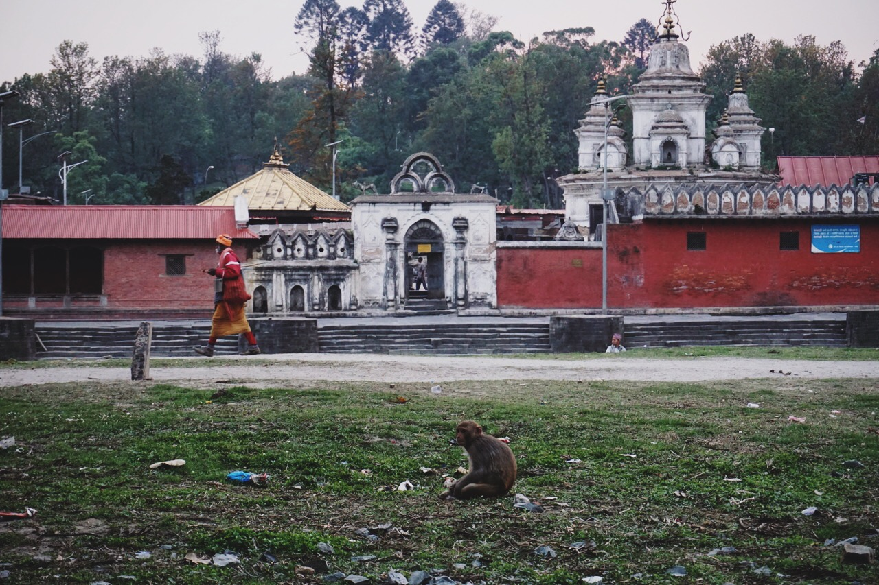 Macaque monkey at the Bagmati River ghats, site of cremations