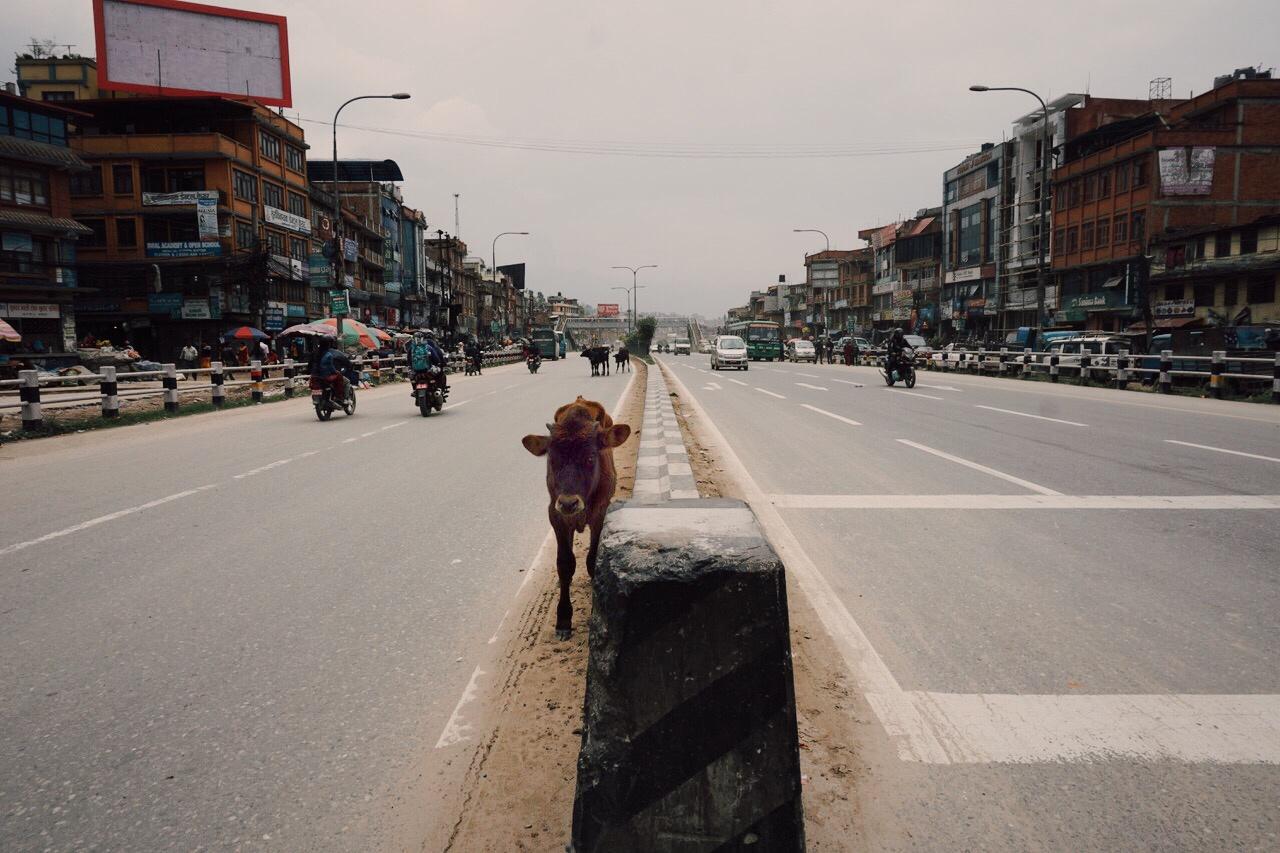 A cow among the cars, Bhaktapur