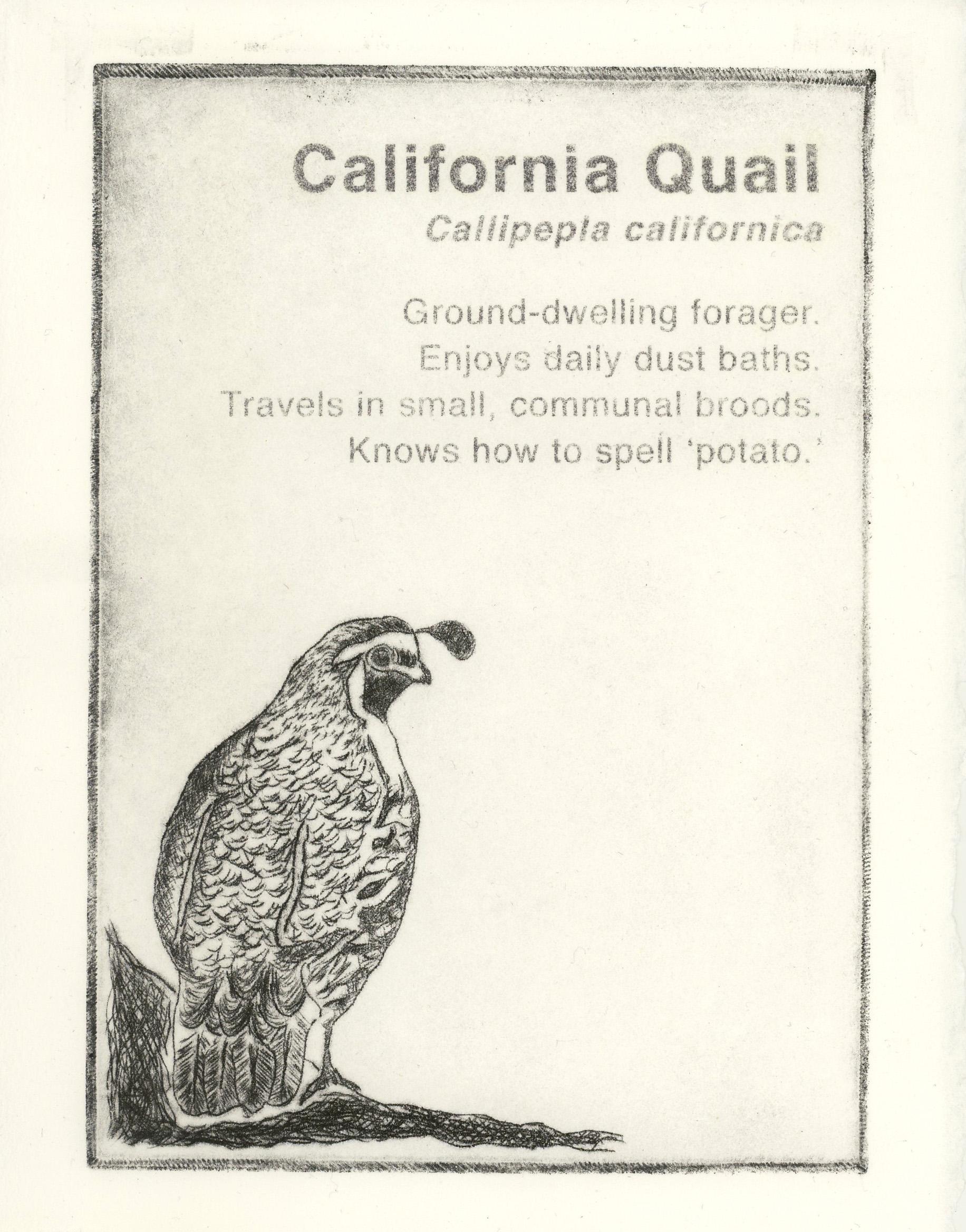 california quail.JPG
