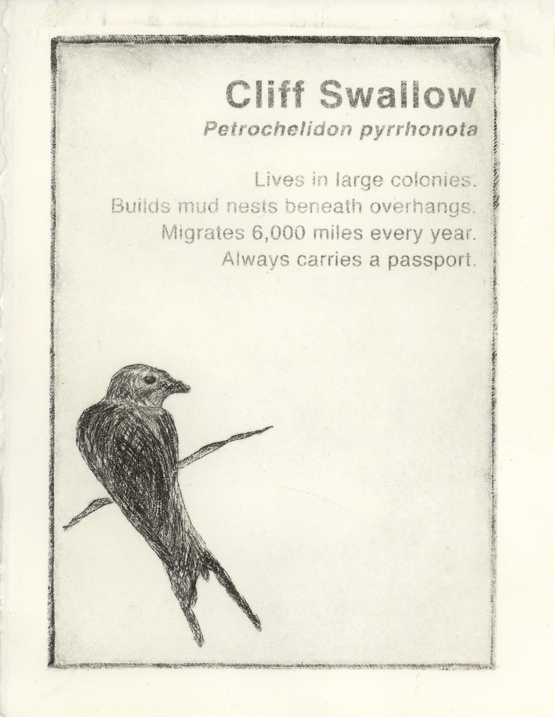 cliff swallow.JPG