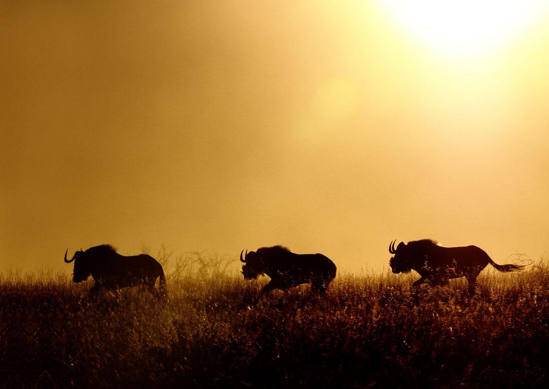 Wildebeest Morning.JPG