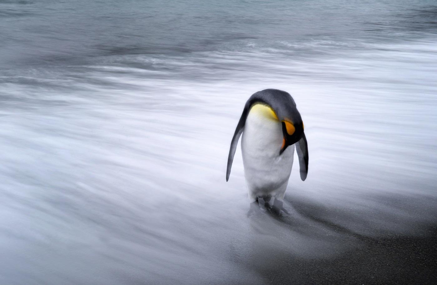 Lone Penguin.jpg