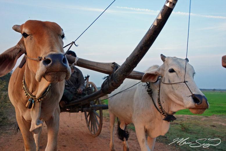 Sunrise ride on an ox cart