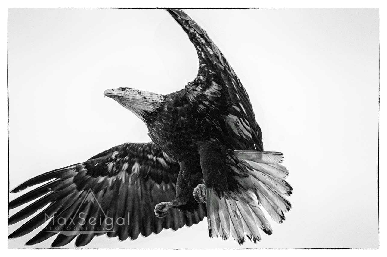 Bald eagles are some of my favorite birds to photograph... so much power and finesse!