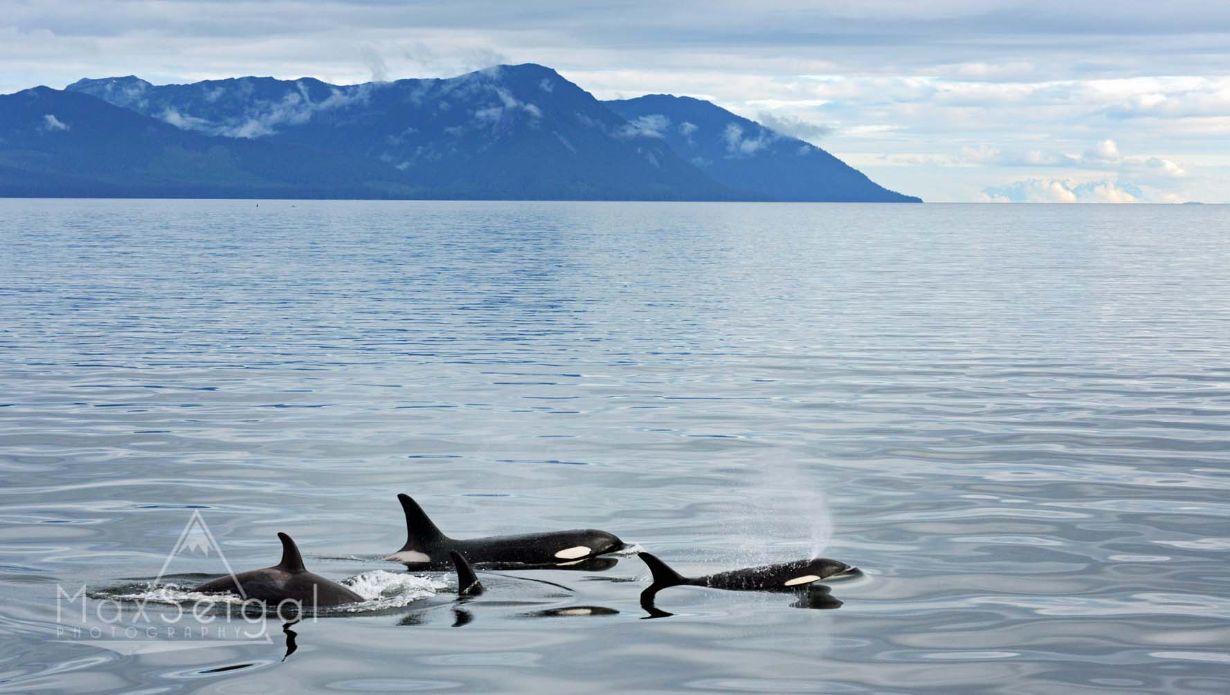 A family of killer whales passes by