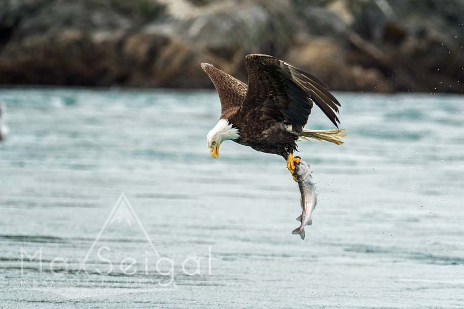 Great catch! Looks like a pollock in this eagle's talons...