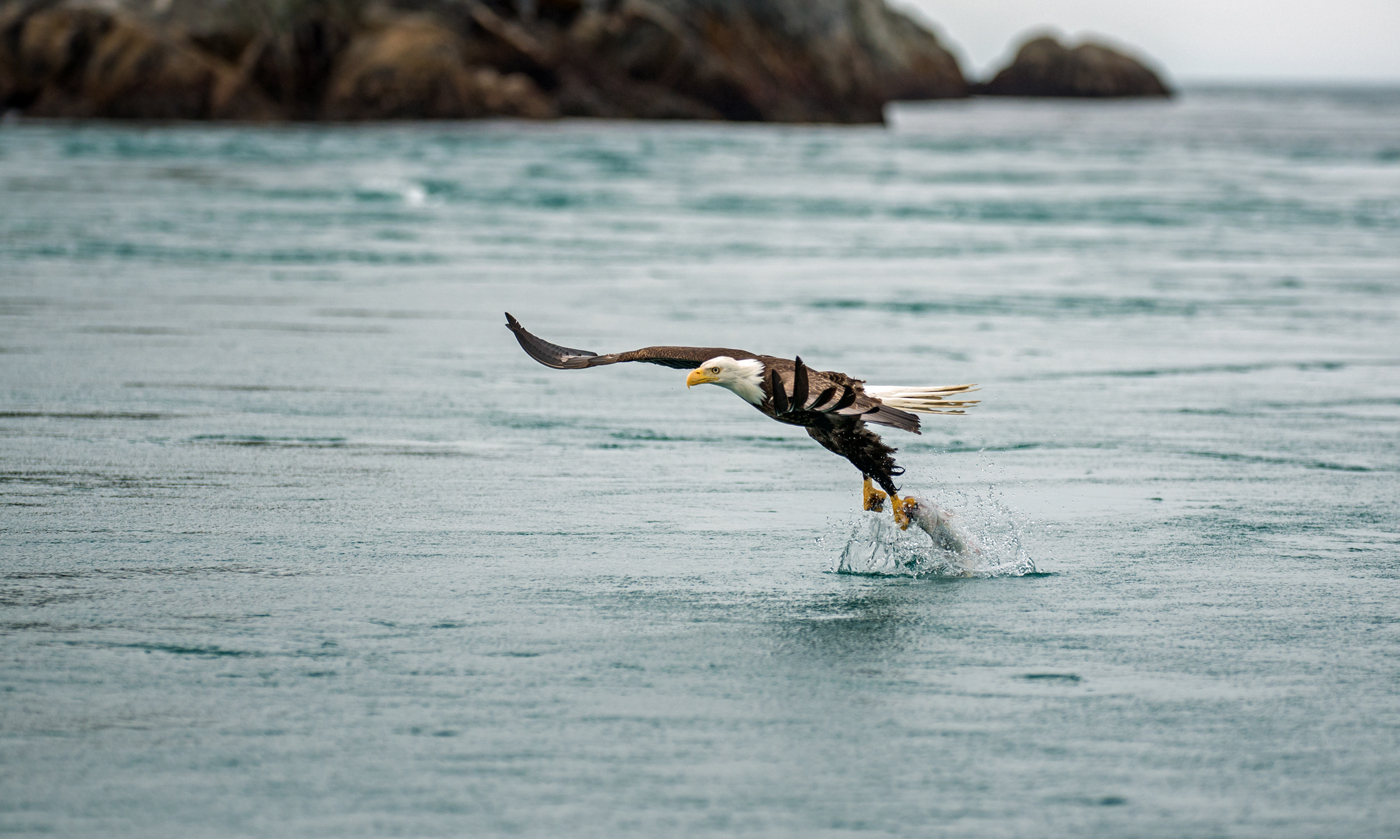 A bald eagle snatches a fish from the water near the Inian Islands. These birds of prey are very skilled at fishing, and sometimes they have been known to catch a fish too big to fly away with and they will actually swim to shore with it!