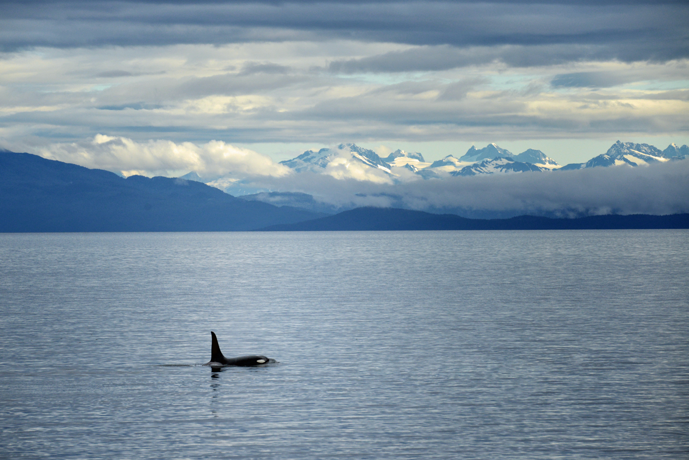 A killer whale comes up for air with the spectacular Mt. Fairweather range in the background. The Fairweathers rise up over 15,000 feet in just a few miles from the coastline in Glacier Bay National Park!