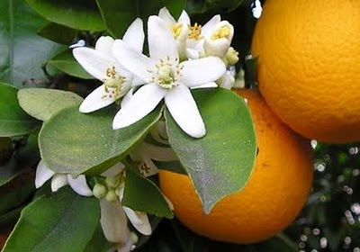 Neroli :   Neroli has a light sweet-floral fragrance with an element of citrus. It is said to have a refreshing, honeyed floral aroma.