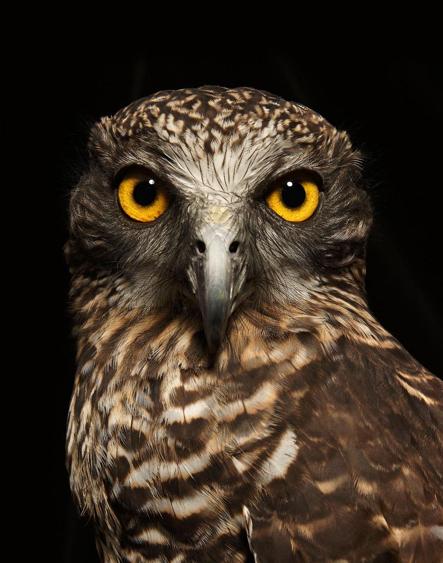 Powerful-Owl-Print.jpg
