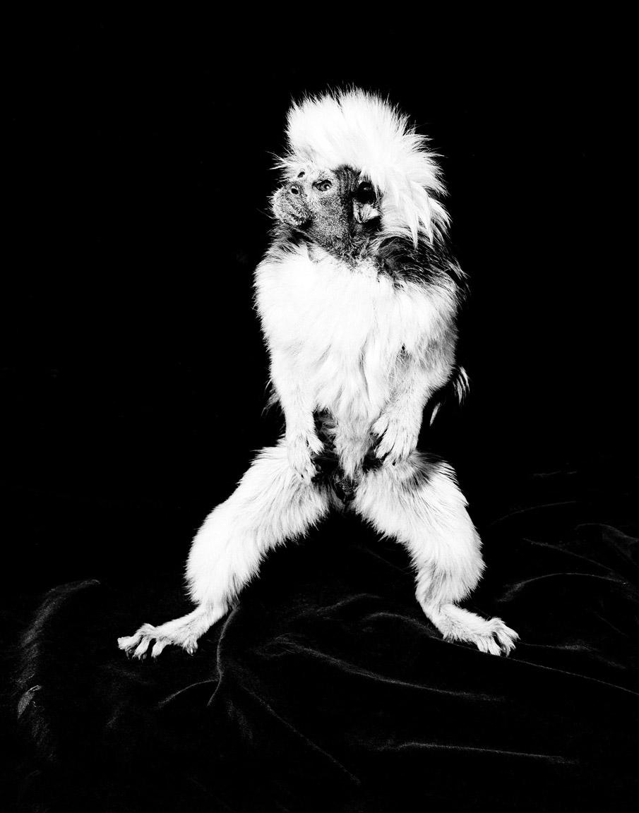monkey_cottontop1.jpg